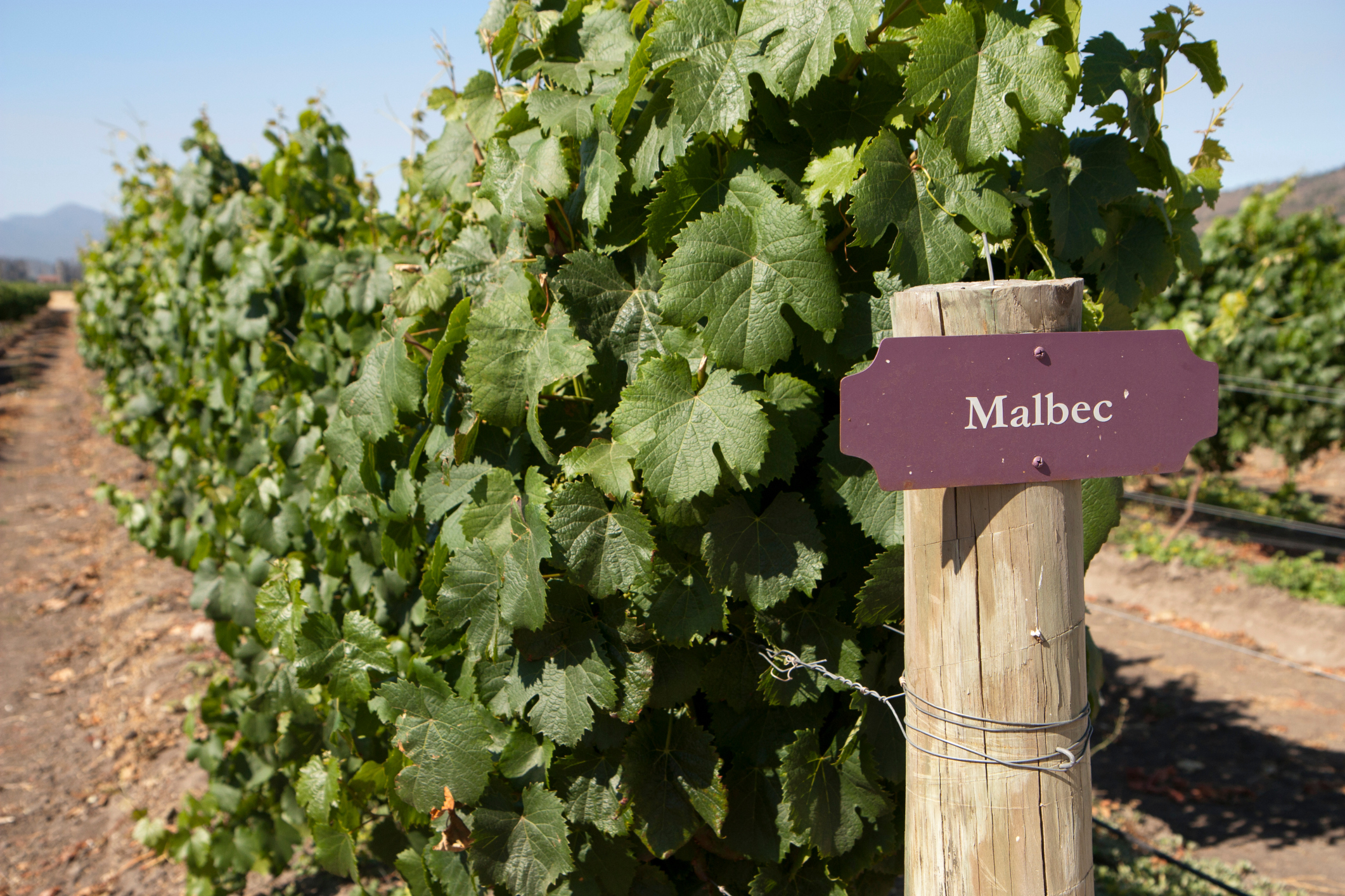 Vineyard - Malbec