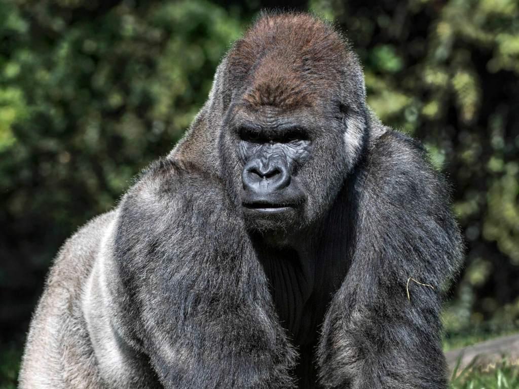 Bantú gorila